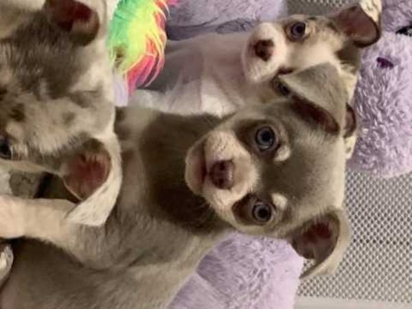 Here we have 3 beautiful chihuahua pups looking for there forever homes we have
