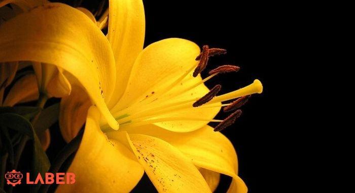 ورود صفراء