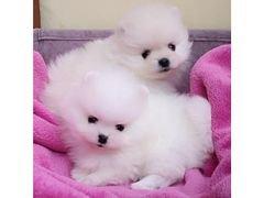 Pomeranian puppies for sale whatshapp +971504185305