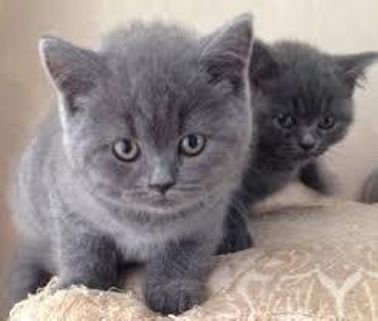 Adorable Male and Female British short hair Kittens