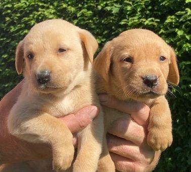 Kc Reg Fox Red Labrador Pups WHATSAPP NUMBER.......+971504185305