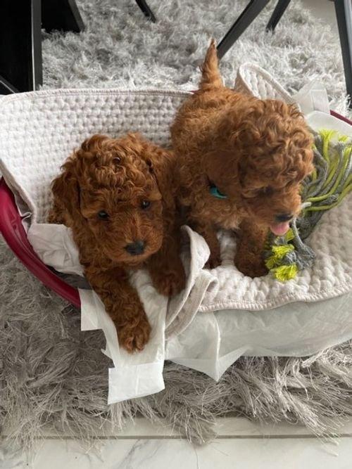 Gorgeous Toy Poodle