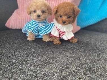 Gorgeous Toy Poodle Pups Ready